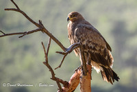 Ngorongoro TANZANIA: Black Kite Eagle near Ngorongoro Crater in