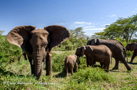 Ngorongoro TANZANIA: A herd of elephants at  Ngorongoro Crater i