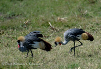 Ngorongoro TANZANIA: Two grey crowned cranes at Ngorongoro Crate