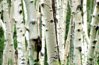 A grove of aspen trees